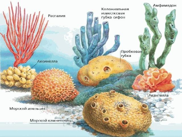 губки многоклеточные картинки кукушкину несколько раз