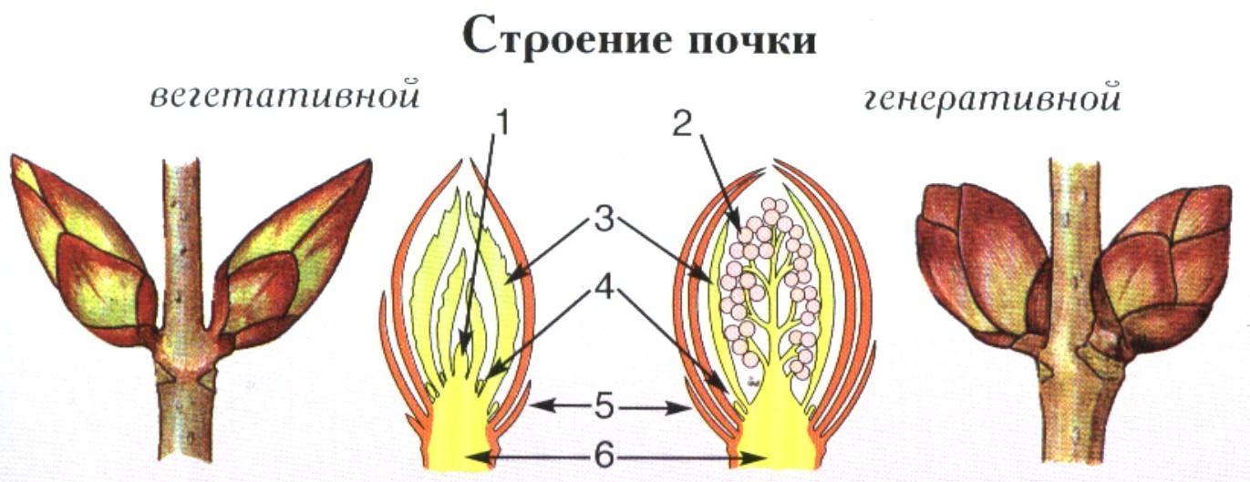 Картинки почка растения